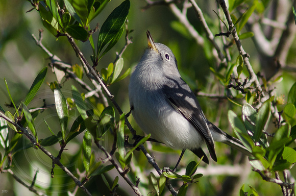 Gnatcatcher Recital